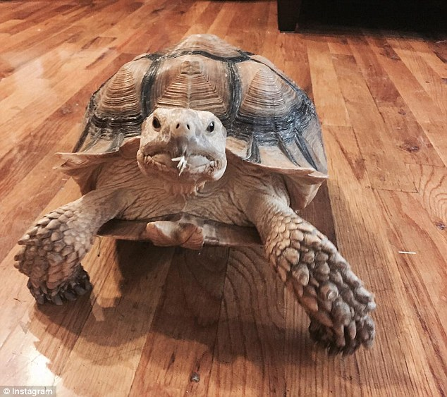 Earn $10 an hour walking Henry the tortoise to Central Park in a stroller